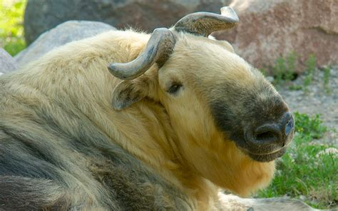 Backyard Gifts by Sichuan Takin Red River Zoo Fargo Nd
