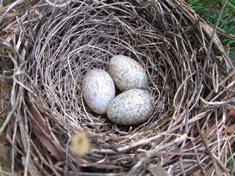 when do cardinals lay eggs top 28 when do cardinals lay their eggs northern cardinal nest page 2 four baby