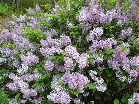 lilacs bush persian lilac bush grotto garden pinterest