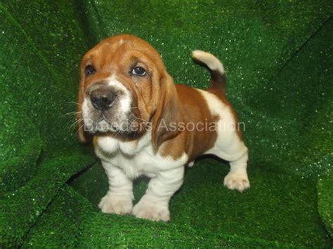walrus puppy walrus breed walrus 7878 basset hound x shar pei doggies