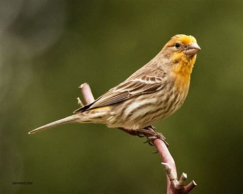 yellow house finch house finch yellow variant nature and wildlife photography forum digital