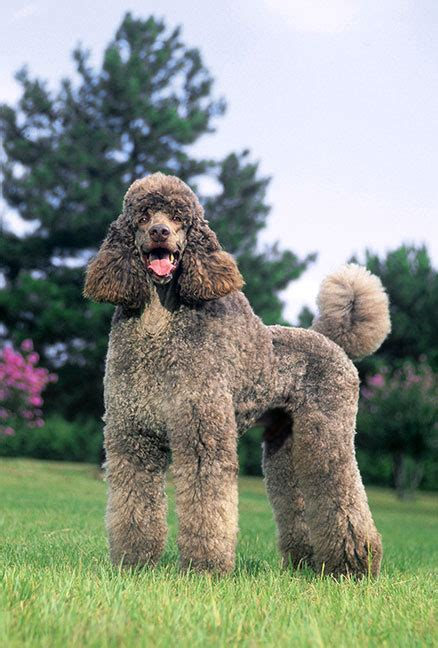poodle breed poodle 100 more photos