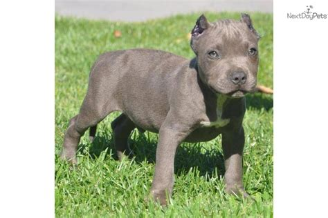 pitbull puppies for sale in los angeles american pit bull terriermastiff mix puppy for sale in los angeles models picture