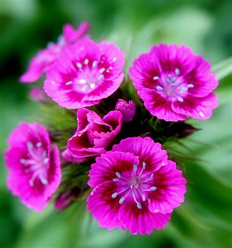 Sweet Blooms by File Pink Sweet William Flowers Jpg