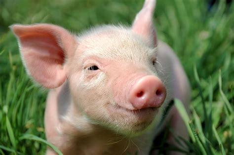 allevare animali da cortile allevare maiali maiali consigli per allevare i maiali
