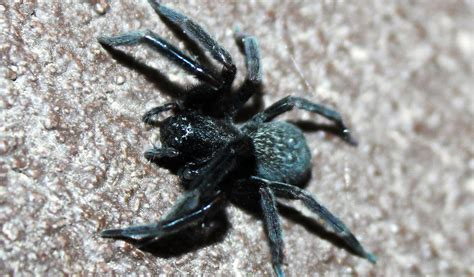 black house spider black house spider facts venom habitat information