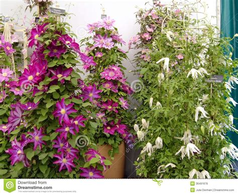 large climbing plants clematis at chelsea flower show royalty free stock image