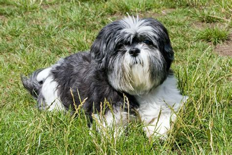 shih tzu itching giving this to your shih tzu daily could help alleviate skin allergies