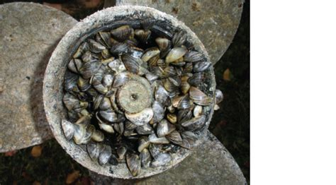 how to remove zebra mussels from a boat invasive species prevention sailors for the sea