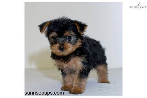 teacup yorkie for sale chicago teacup terrier puppies for sale in ohio picture breeds picture