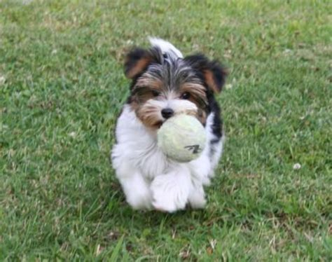 teacup yorkies for sale in detroit michigan 77 best images about biewer yorkies on terrier breeders puppys