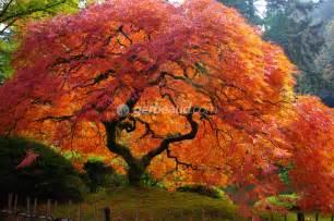 erable du japon acer palmatum