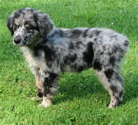 australian shepherd mix with golden retriever golden retriever australian shepherd mix