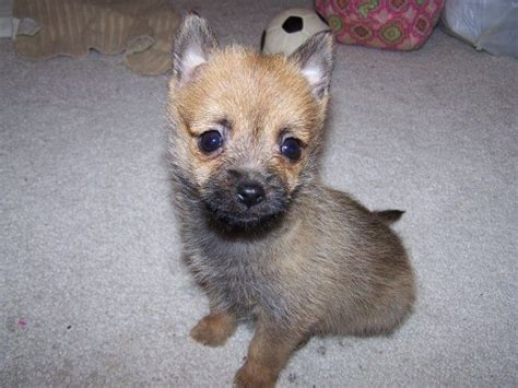 cairn terrier pomeranian mix pomeranian cairn terrier mix want