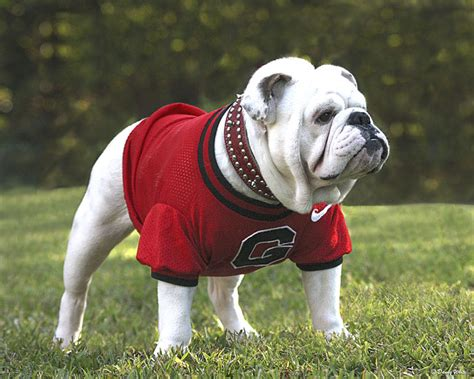meet my mascots looks bad meet uga viii big bad bruce sports redandblack