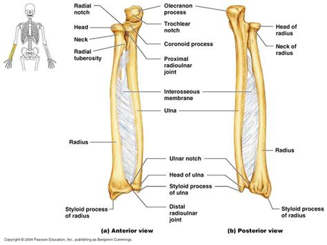 Radius Search 1000 Ideas About Radius And Ulna On Anatomy Study Arm Bones And Anatomy