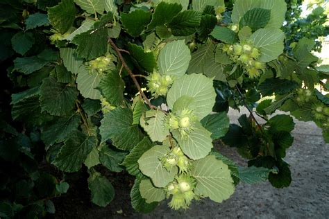 hazelnut filbert diseases and pests description uses propagation