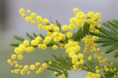 immagini fiori mimosa mimosa d hiver entre bleu azur et jaune soleil