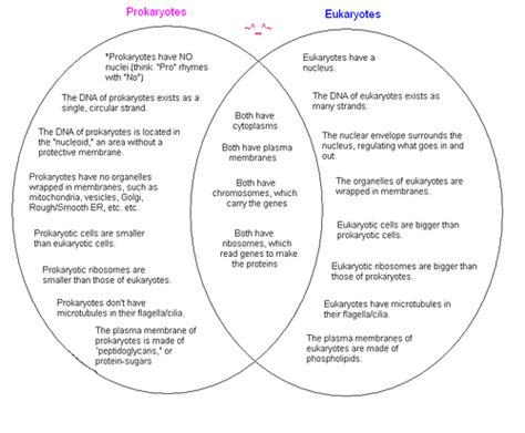 prokaryote and eukaryote venn diagram re test for cell and osmosis and diffusion carlos on