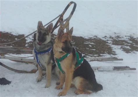 sled commands working german shepherd dogs sled