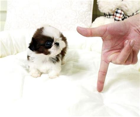micro shih tzu shih tzu for sale petsale inc