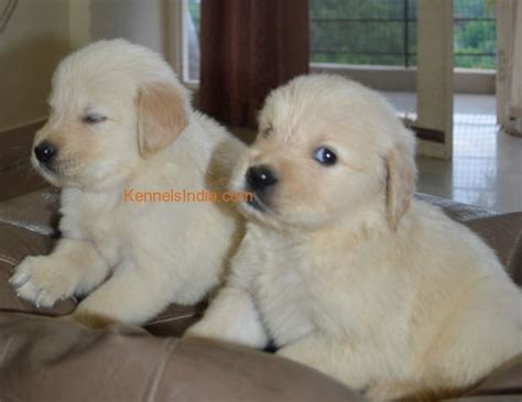white golden retriever puppies for sale in bangalore breed golden retriever puppy for sale in bangalore karnataka