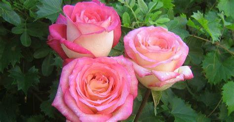 Pupuk Yang Bagus Untuk Bunga Mawar cara merawat bunga mawar dengan tepat