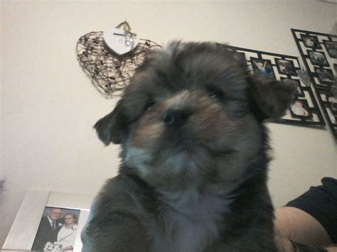 yorkie apso puppies for sale yorkie apso puppies for sale rotherham south pets4homes
