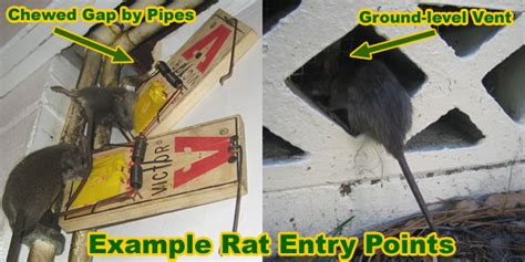 Mice In Walls And Ceiling by How Is A Rat Getting In House Building Or Attic