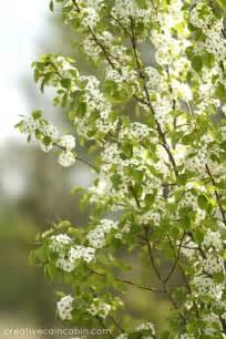 White Flowering Tree - gallery for gt summer white flowering trees