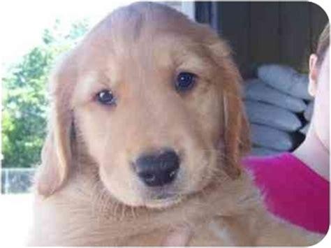 golden retriever mix puppies michigan puppies adopted puppy mi golden retriever mix