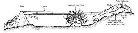 hutte castor observation des animaux au canada durant l hiver