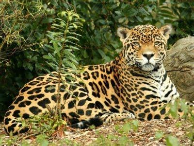 Do Jaguars Live In Mexico Especies En Peligro De Extinci 243 N En M 233 Xico Pe 241 Asco