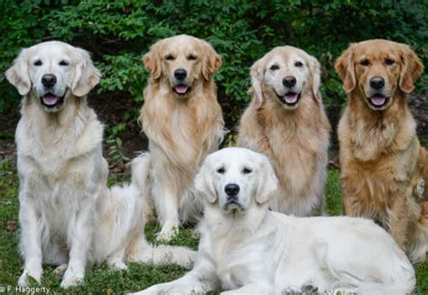 golden retriever breeders in pennsylvania gazn golden retrievers pa golden retriever breeders puppies pennsylvania