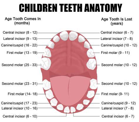 teeth layout and names children teeth anatomy manhattan dental manhattan dentist