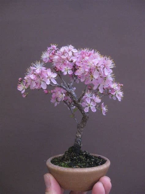 Bonsai Pink truly small bonsai pink flowering cherry would be my guess i am one of my