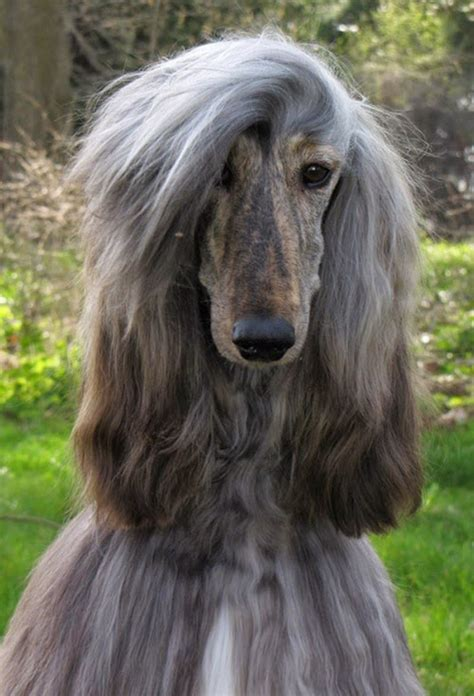 Afghan Hound by Afghan Hound Animals Wiki Pictures Stories
