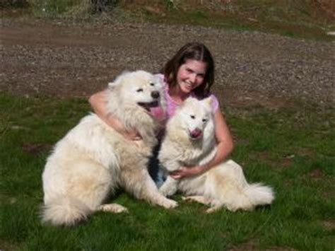 samoyed mix puppies for sale samoyed puppies for sale seattle wa