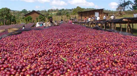 bagaimana tahapan proses natural  drying beds majalah otten coffee