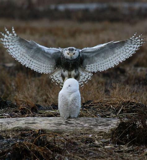 Snowy Owl Kit168 ä á Chæ I M 244 H 236 Nh GiẠY Miá N Ph 237 - 1000 images about ok ok got to an owl board on