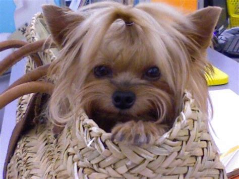 yorkie hair cut chart 191 best images about yorkie haircut guide on pinterest
