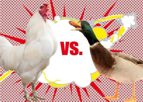 Backyard Chickens Vs Ducks Raising Ducks Or Chickens Ten Reasons To Choose Ducks Hgtv