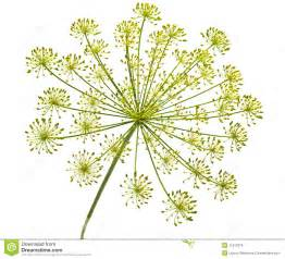 Herb Garden Plan dill flower royalty free stock images image 11912379