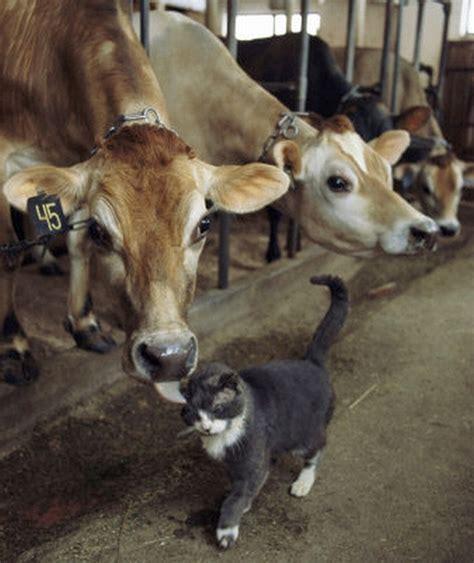 top  cows  cats bff pics  wont