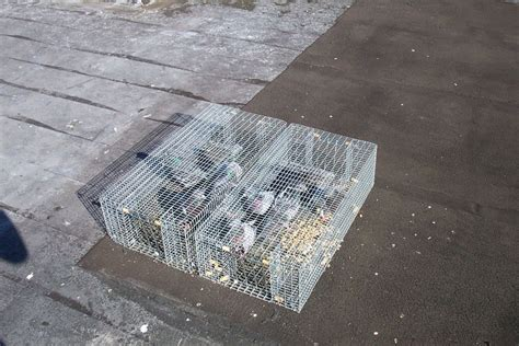 how to trap pigeons for pigeon prevention photos orlando fl