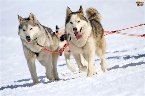 sled dogs more about sled breeds pets4homes