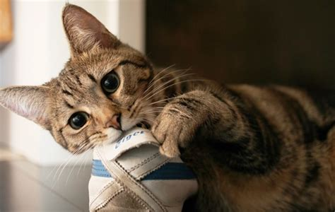 how to your not to chew on everything how to stop destructive chewing behaviour in cats