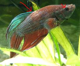 betta fish losing color important the betta fish is sick pale losing color