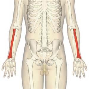 Radius Opinions On Radius Bone