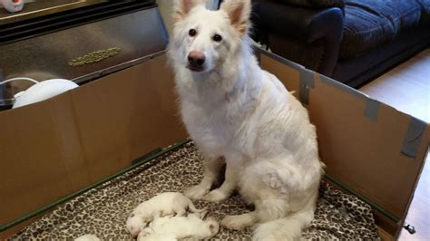 white german shepherd puppies for sale in pa white german shepherd for sale